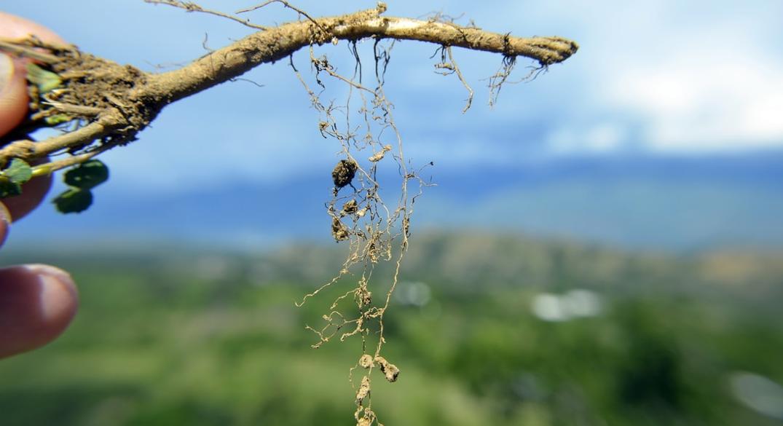 Combatir las plagas devastadoras con alfalfa