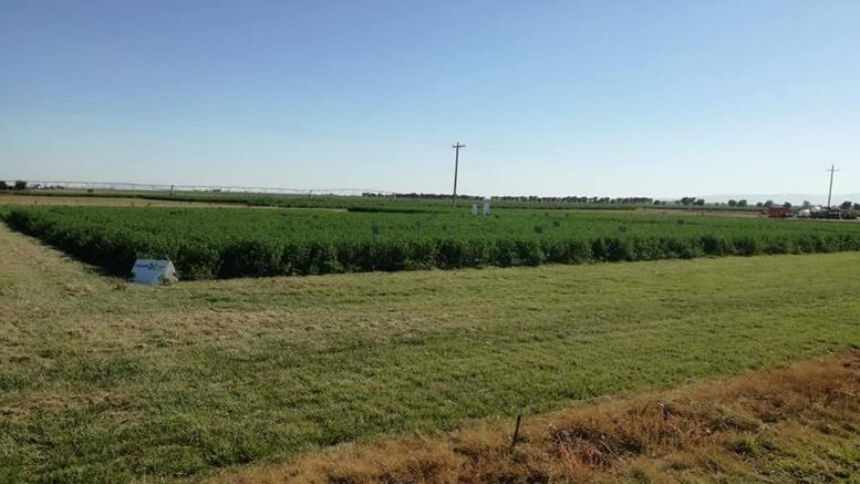 En EE.UU, productores de alfalfa destacan las propiedades de Harvxtra para henoAfirman que en su estratificación por calidad, el producto final que se obtiene de la alfalfa para heno está marcando una diferencia con este evento, que ya lleva 3 años de siembra en EE.UU y que en Argentina irá por su segunda campaña en el ciclo 2019/2020.