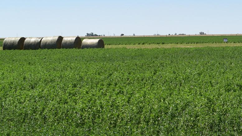 Estado de la alfalfa en Santa FeEl informe de situación productiva del área de influencia del INTA EEA Rafaela destacó el buen estado de las praderas base alfalfa en la región durante el mes de enero.